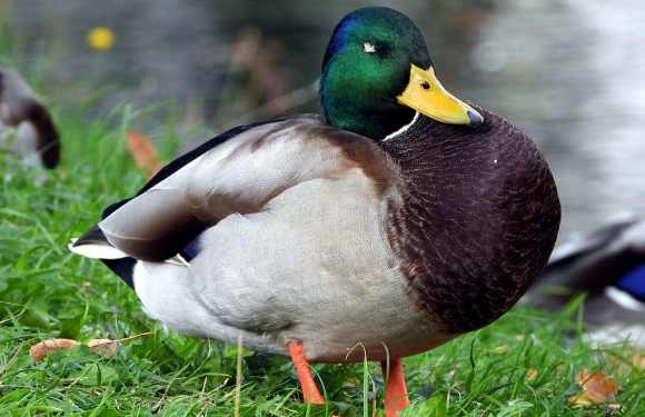 Origen de la expresión «pagar el pato»