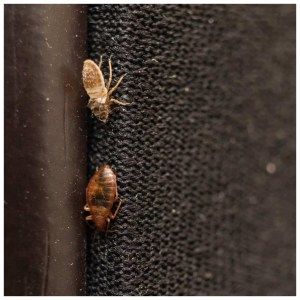 Are Bed Bugs In Wood Furniture