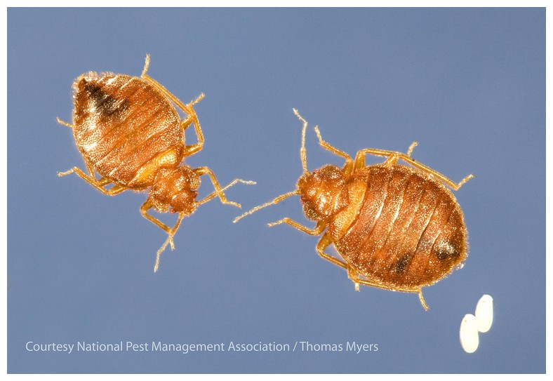 How Much Should Bed Bug Extermination Cost
