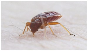 How To Get Rid Of Bed Bugs On Your Own