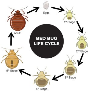 What Will Kill Bed Bug Eggs