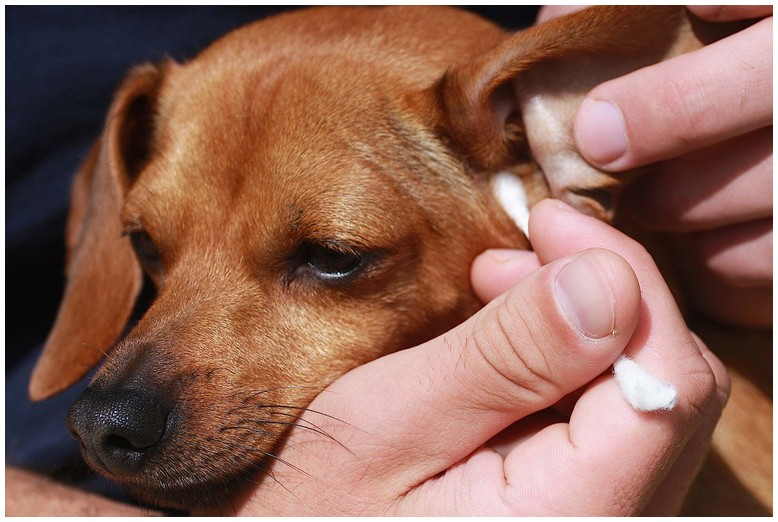 How To Get Rid Of Dog Mites In Ear