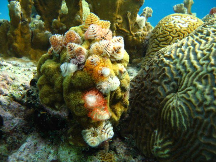 koraal-treeworm
