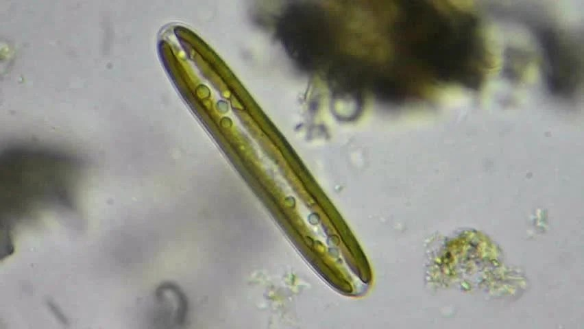 Diatom Definition/meaning