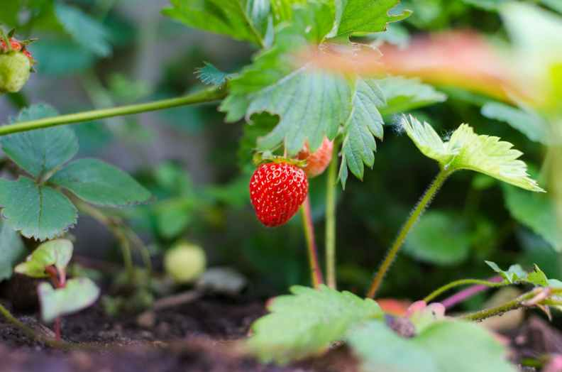 what is qi? Chinese medicine strawberry