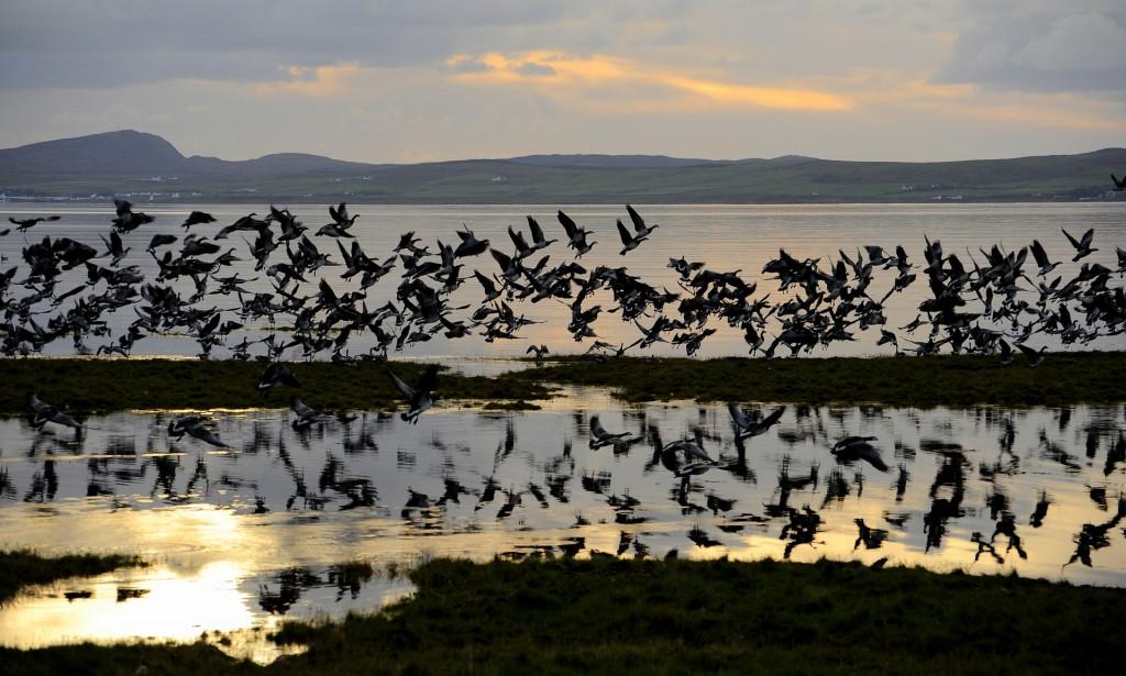 La spettacolare migrazione delle BARNACLE GEESE