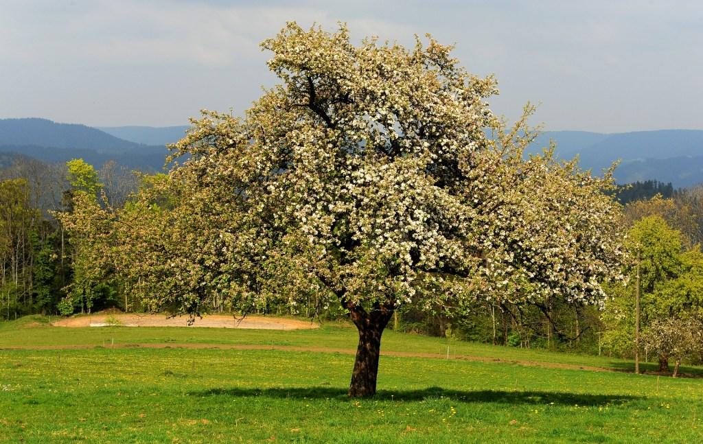 La primavera è un'esplosione di alberi da frutto carichi di fiori
