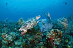 """La """"corsara"""", Anne Bonny, diede origine a Parrot Cay, odierno luogo di delizie."""