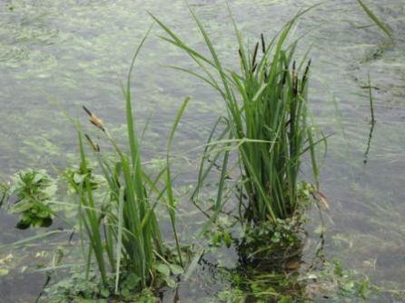 Carex_acutiformis