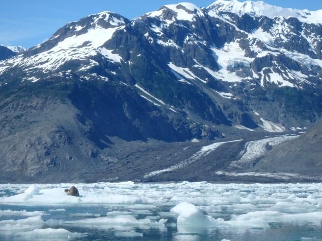 Harbor Seal on ice, Columbia Glacier