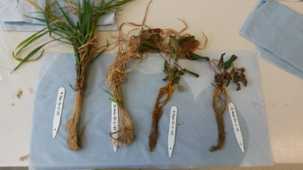 Preparing plants for exudate collection