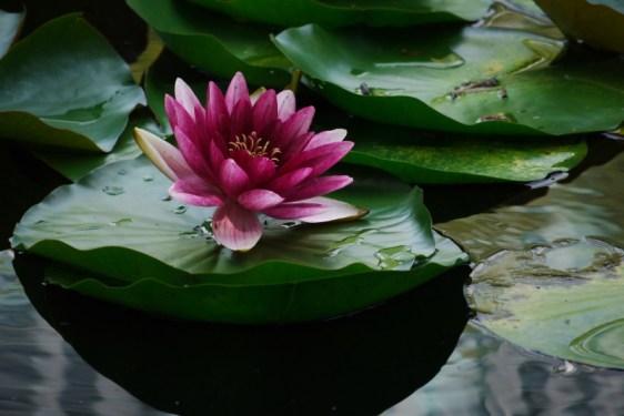 P1180172_lotus