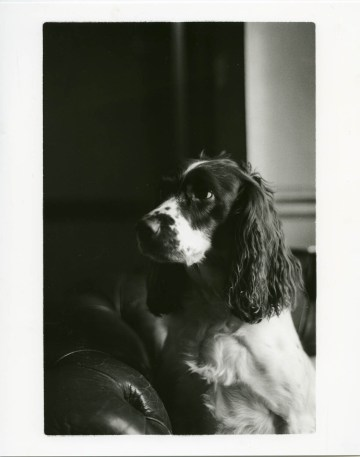 Springer spaniel shot on black and white film by Brandon Donnelly
