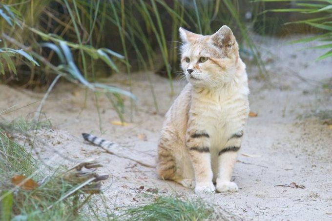 nama lain kucing
