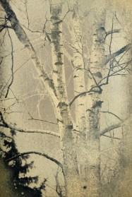 garden tree, 10x15cm daguerreotype