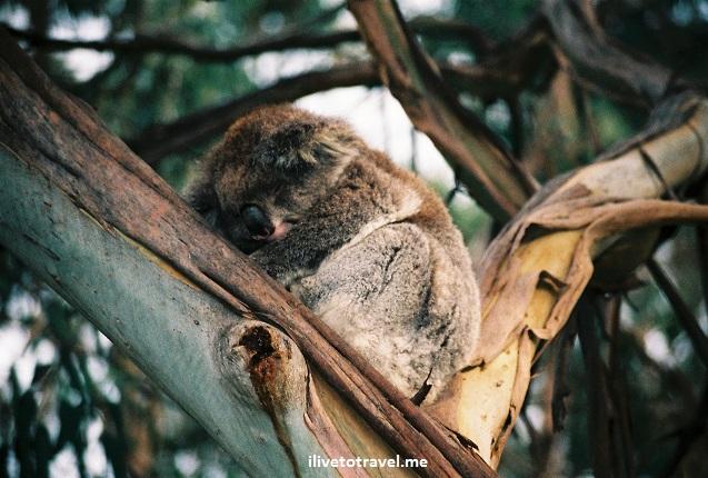 Koala, Australia, Great Ocean Road, wildlife, Canon EOS Rebel