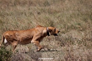 Photo Essay – Anatomy of Lioness Kill in the Serengeti