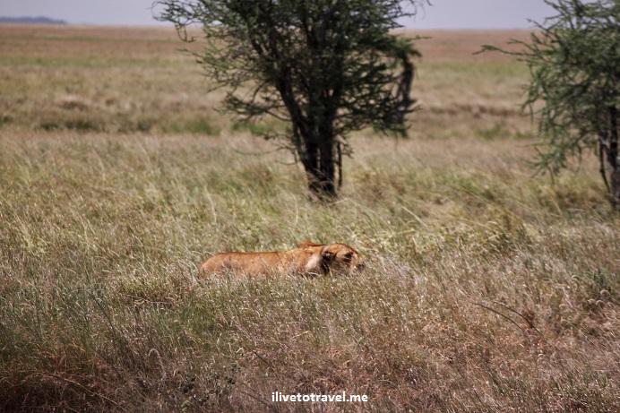 Lioness, lion kill, wildebeest, Serenget, safari, Tanzania, photo essay