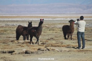 Atacama desert, Chile, llamas, photographer, salt lake