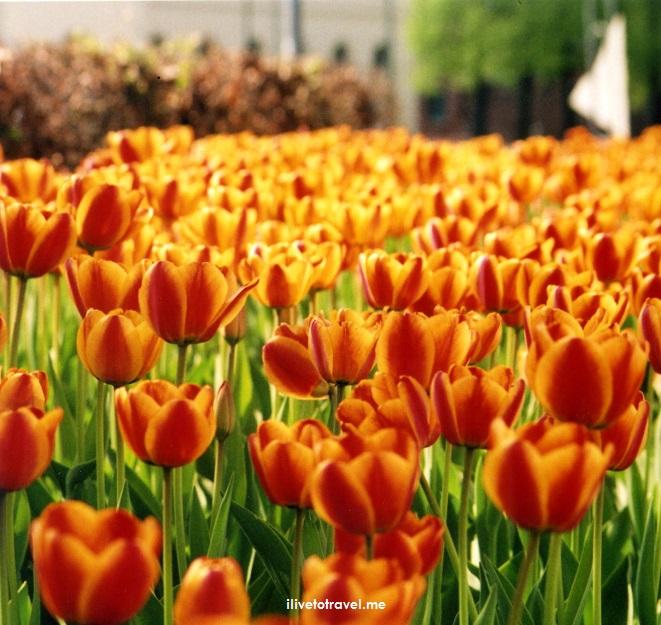 orange, tulips, Oslo, Norway, flowers, photo, travel, spring