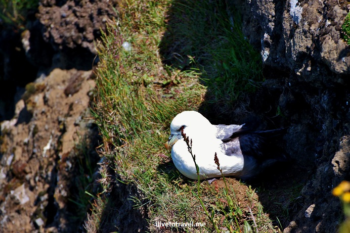 Dyrholaey, peninsula, Atlantic Ocean, Iceland, south shore, cliff bird,travel, photo, Canon EOS Rebel