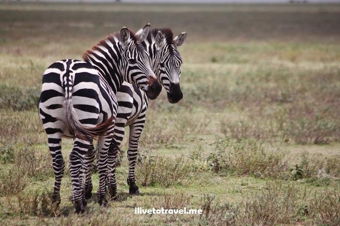Ngorongoro, wilidlife, Serengeti, safari, Tanzania, explore, adventure, Africa, travel, photos, zebra