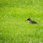 Caught site of this young Green Woodpecker on Commoners Lott in Stanley Common. …