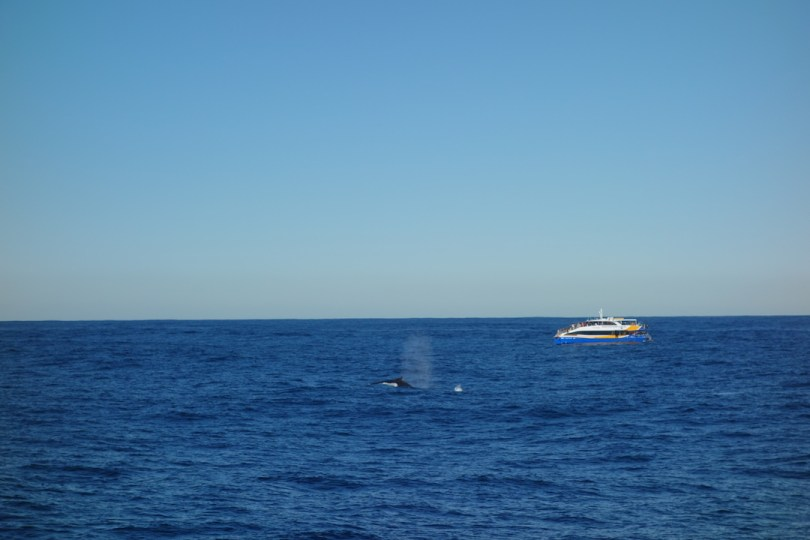 whale watching a Sydney