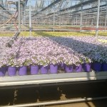 One of Color Point's many automated greenhouse operations in Granville, IL.