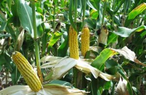 MAIZE LEAVES, HOME REMEDY FOR FEVER, DIABETES