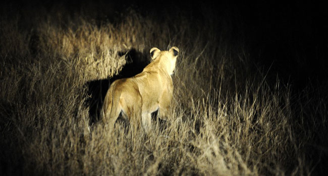 NEWS: South African Authorities Warn Residents As 14 Lions Escape Zoo