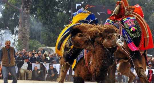 Tulu Camel Wrestling   Annual Contest For Male Camels To Fight For Their Female Partner
