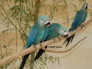 Spix Macaws - photo courtesy of 25.media.tumblr.com