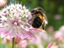 Bumble Bee, Summer, Flower, Pollen
