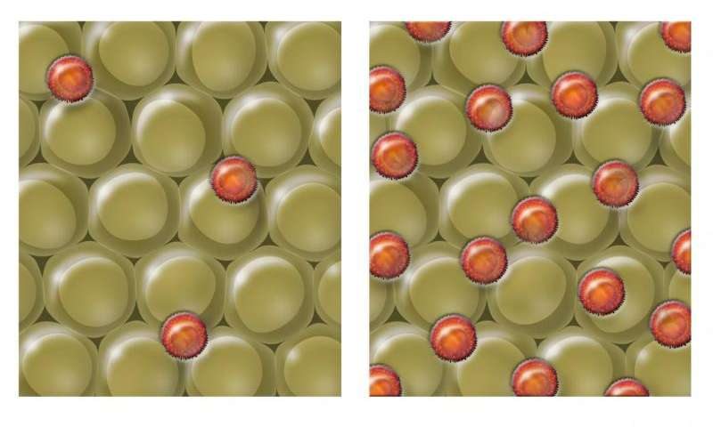 I ricercatori del Salk mostrano che il diabete negli anziani e animali magri è causato da un eccesso di cellule immunitarie nel grasso. In questa grafica il tessuto adiposo viene mostrato con le rappresentazioni delle cellule immunitarie chiamate Tregs (arancione). Nei topi di mezza età con diabete (rappresentati a destra), i Tregs sono sovraespressi nel tessuto adiposo e innescano la resistenza all'insulina. Quando i Tregs sono bloccati, le cellule di grasso nei topi diventano nuovamente sensibili all'insulina. Credit: Salk Institute