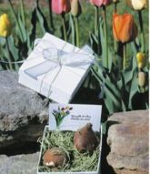 26-Tulip-Flower-Bulbs-in-White-Gift-Boxes-6692