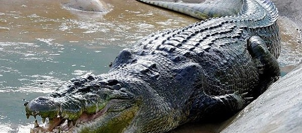 Buaya Muara (Saltwater Crocodile)