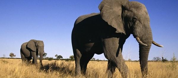 Gajah Afrika (African Elephant)