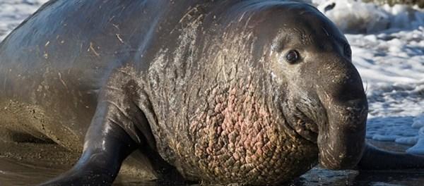 Gajah Laut (Elephant Seal)