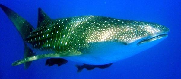 Paus Hiu (Whale Shark)