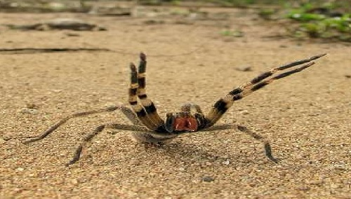 Laba-laba Brazilian Wandering