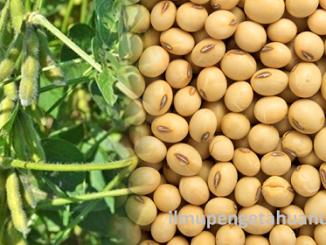 Kandungan Nutrisi Kacang Kedelai dan manfaatnya bagi kesehatan