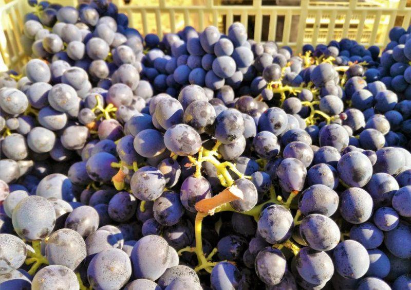 Cantine Due Palme: uva negroamaro