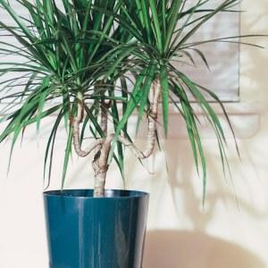 De Dracaena plant is goed voor het opzuigen van de giftige aceton die vrijkomt uit nagellakken, nagellakverwijderaars en andere huishoudelijke artikelen.