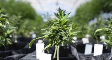 Hemp vs. Marijuana: What's the Difference?