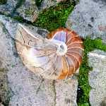 Ammonite Madagascar Online 99, IStone