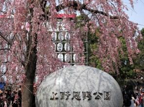 Pretty but busy Ueno Park in the Sakura season