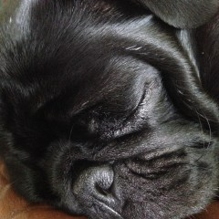 Pugs Don't Snore!