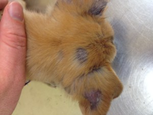 Multi focal alopecia on the head, often seen with Demodex mange