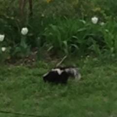 Skunk!